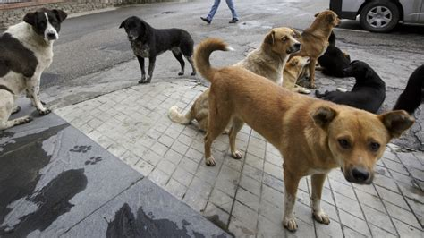 bhutan carried   nationwide program  spay  neuter  stray dogs public radio