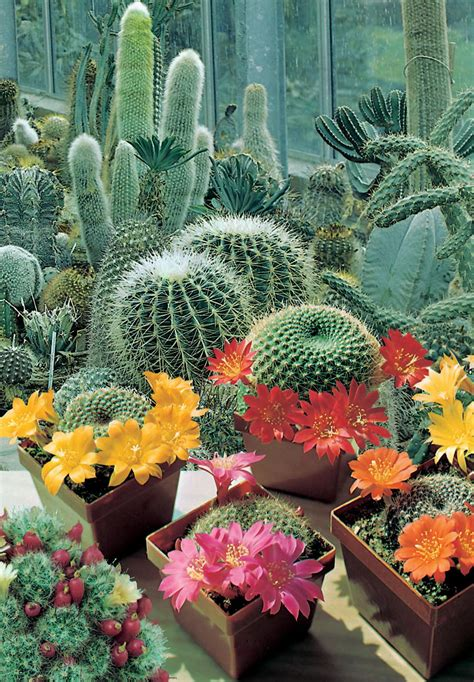 Jual Bibit Bunga Kaktus jual benih biji kaktus cactus flower of the desert mr
