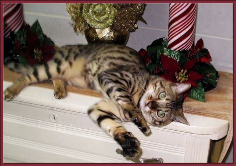 bengal house cat bengals as pets