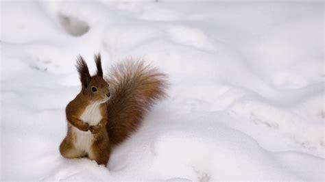 hd wallpaper squirrel winter fluffy