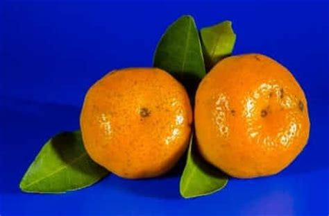 can dogs eat clementines can dogs eat oranges clementine s the shocking facts revealed