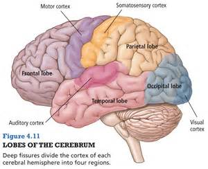 Structures of the brain and their functions