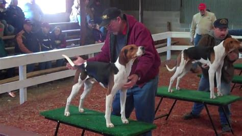 benched show 2010 southeastern treeing walker days bench show youtube