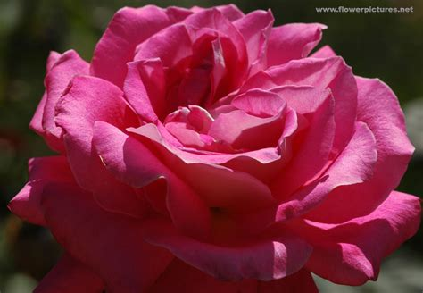 rose pennock floral page 2 pictures of rose flowers hybrid tea lobo