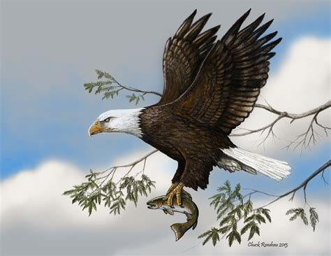 image gallery indian bald eagle drawings