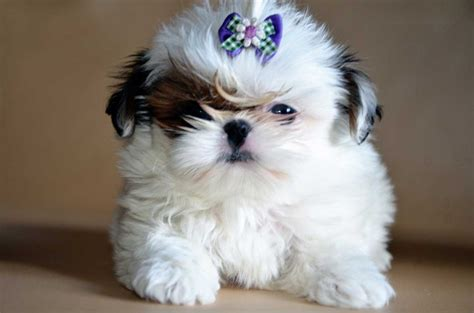 shih tzu mating your shih tzu