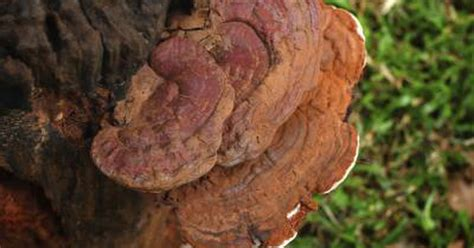 Benefits & Side Effects of Reishi Mushrooms   LIVESTRONG.COM