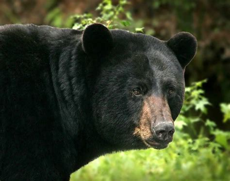 Black Bears black attacks planet deadly