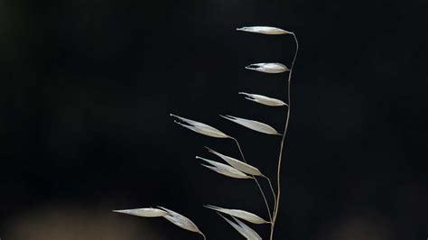 oat fiori di bach oat i fiori di selvatica o forassacco