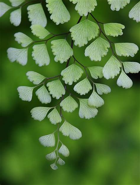 nature growth pattern maidenhair fern awesome and nature on pinterest