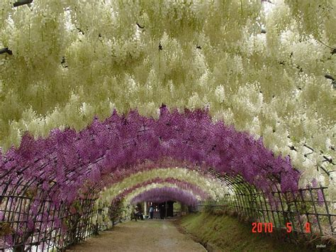 japan flower tunnel eclectitude wisteria tunnel kawachi fuji gardens japan
