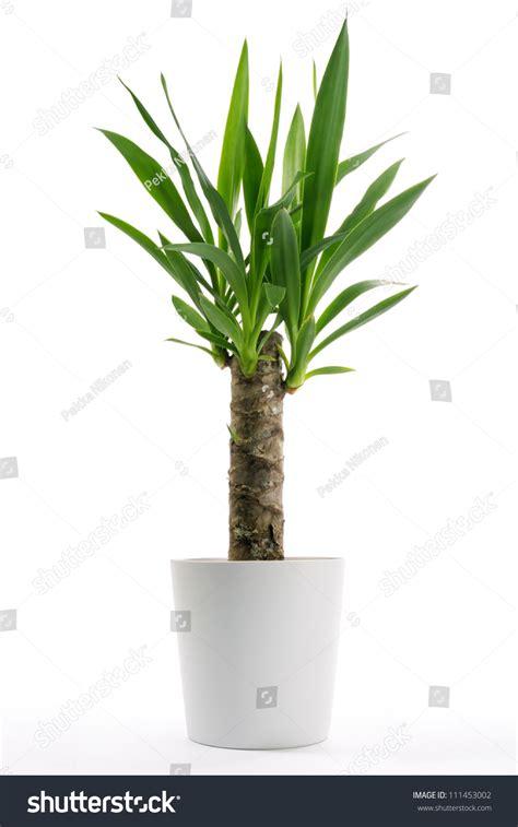 In Door Plant Put In Pot Vide by In Door Plant Put In Pot Vide Houseplant Yucca Potted