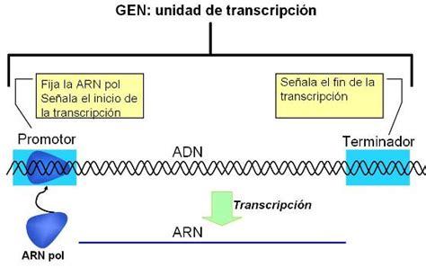 cadena de adn positiva y negativa opiniones de promotor gen 233 tica