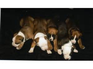 pitbull puppies for sale in utah american pit bull terrier puppies in utah