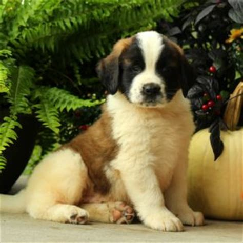 bernard puppies for sale in ny bernard puppies for sale in de md ny nj philly dc and baltimore