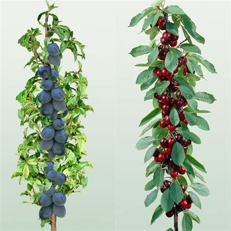 miniature fruit trees best 25 cherry fruit tree ideas on fig fruit