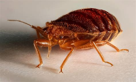 more bed bugs infestations are coming
