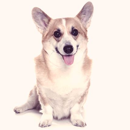 dogs 101 corgi cardigan corgi dogs 101 images