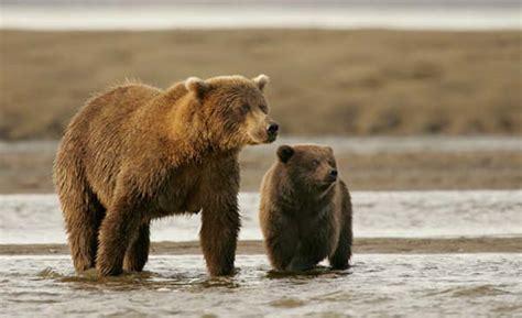 brown bear brown bear 0241137292 棕熊 图片 互动百科