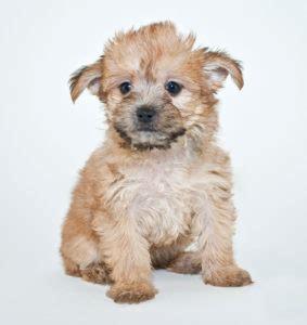 yorkie poo expectancy yorkie poo fetchem puppyfinder