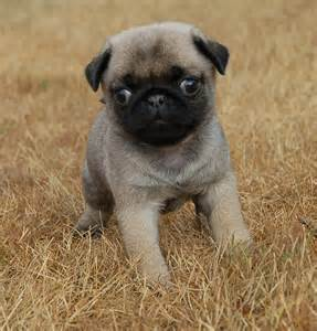why do pugs tongues stick out pug puppy pug puppies pug puppies baby pugs and animal