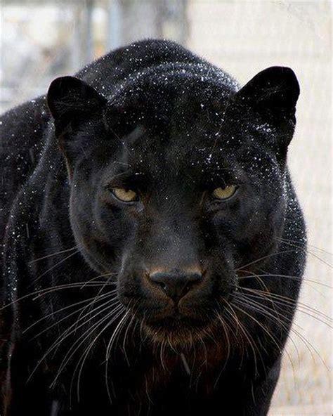 Kaos Black Panther 2 F 024 fotogradus 17 black panther