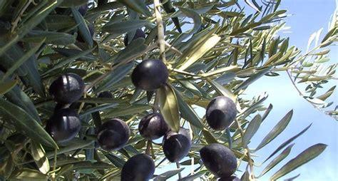 pianta ulivo in vaso ulivo in vaso alberi da frutta ulivo in vaso