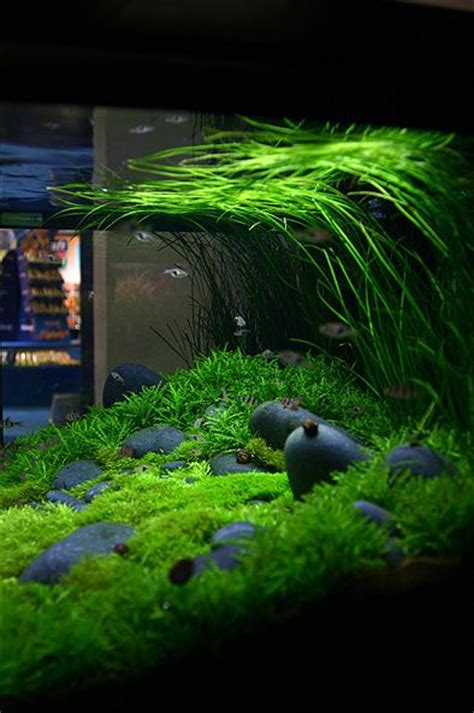 aquascape freshwater aquarium aquascape aquascaping pinterest
