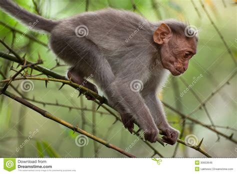 small macaque monkey walking  bamboo forest royalty