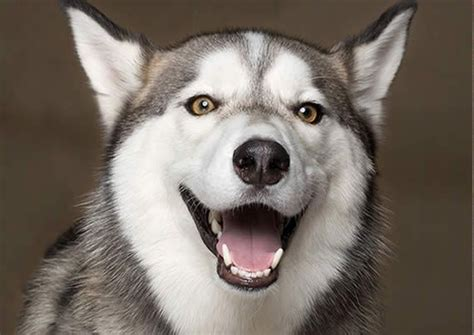 pictures of dogs smiling amazing photos of smiling dogs it s raining cats and dogs pinter