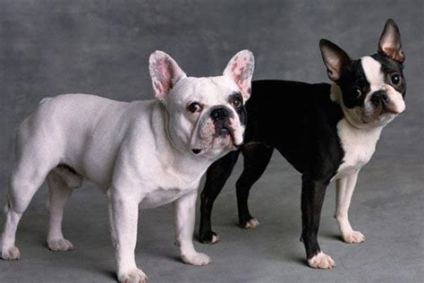 pug vs boston terrier boston terrier bulldog breeds picture