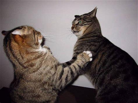 7 Ways To Stop A Cat Fight by Adote Um Bichinho Briga De Gato