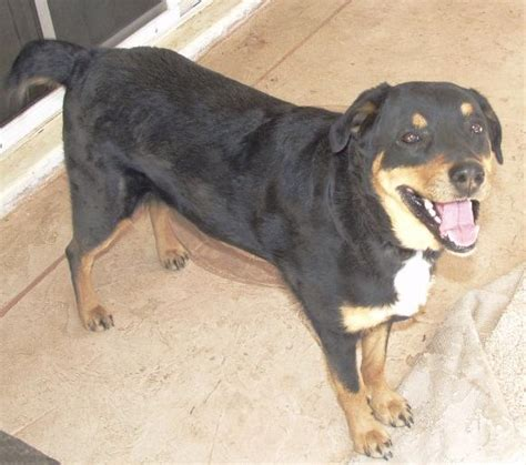 rottweiler aussie mix my isn t allowed in my boyfriends resident because my vet listed him as a