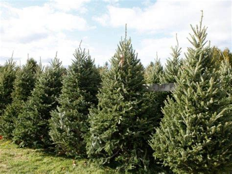 best place to cut your own christmas tree in va where to cut your own tree in montgomery county montgomeryville pa patch