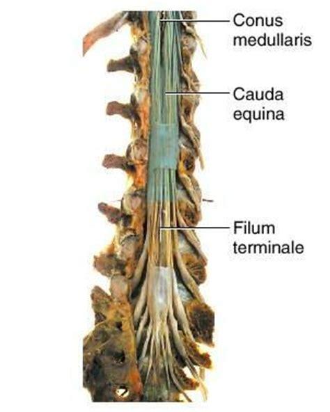 section filum terminale cauda equina filum terminale