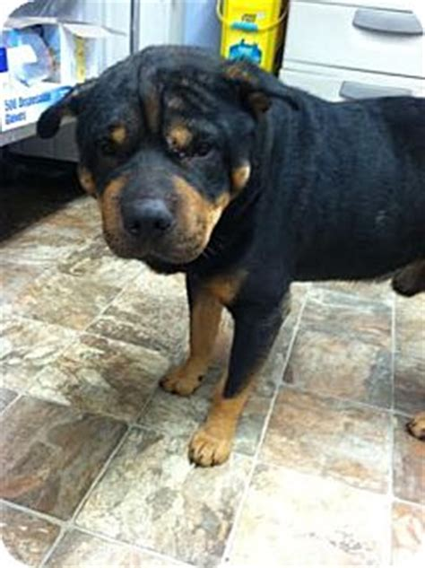 shar pei rottweiler mix puppies darlington sc rottweiler shar pei mix meet bolden a for adoption