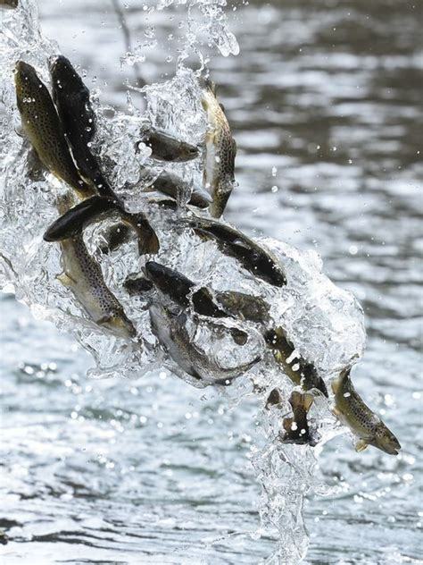 pa fish and boat commission trout stocked waters big cove creek to get big trout