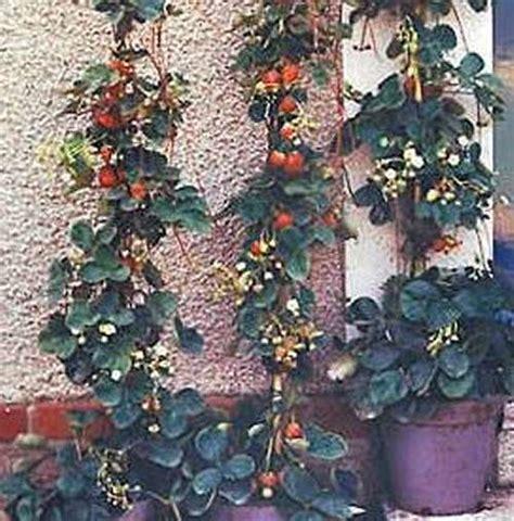 piantare le fragole in vaso orto facilissimo fragole ricanti coltivazione in