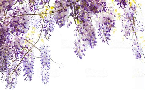 hanging wisteria vine with purple flowers stock photo more pictures of brightly lit istock