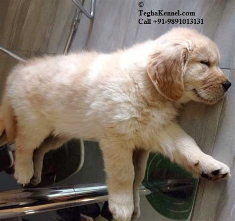 average price for golden retriever puppy average price of golden retriever puppies in india dogs in our photo