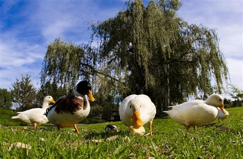 what do ducks eat no not pieces of bread please read this