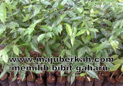 Daftar Bibit Pohon Gaharu cari budidaya bibit pohon tanaman kayu gaharu harga