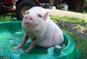 pot bellied pig pet gristina david walker defends manhattan madam