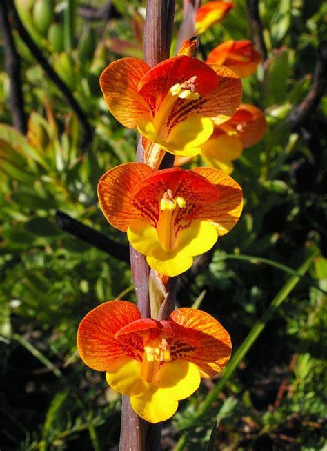 imagenes flores gladiolos gladiolos en la naturaleza im 225 genes y fotos