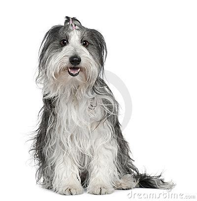 yorkie border collie mix border collie mixed with a maltese stock image image 15126271