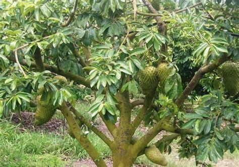 Harga Bibit Buah Tin Yang Sudah Berbuah pohon sirsak dalam pot www imgkid the image kid