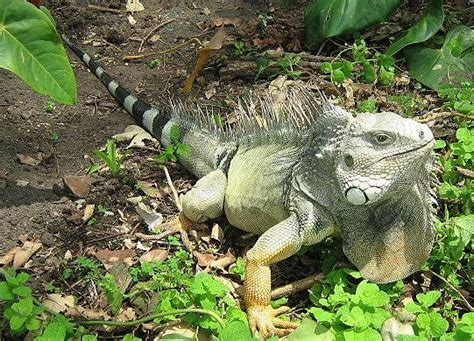 Iguana L iguana iguana