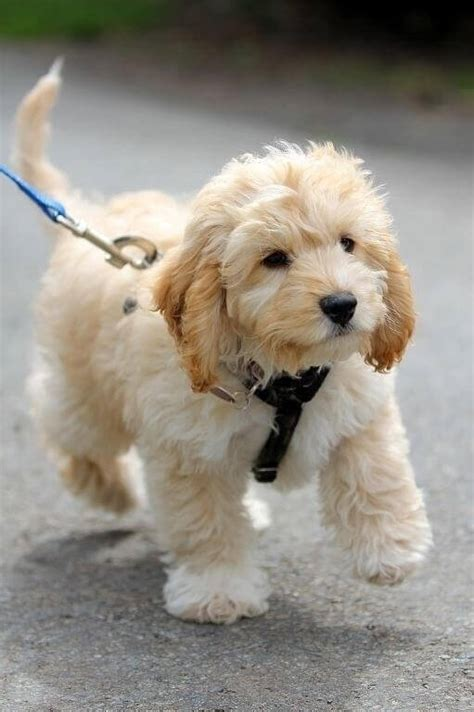 cavapoo dogs cavapoo breed 187 breed info pictures more