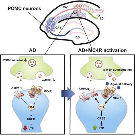 Stimulation of the Hippocampal POMC/MC4R Circuit ... G Protein Coupled Receptors Diagram
