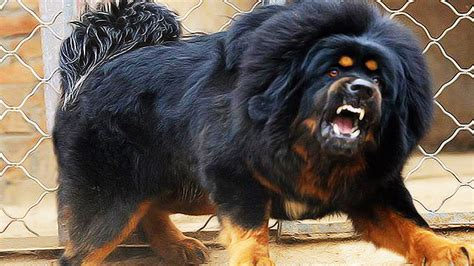 top ten dogs top ten ferocious dogs breeds picture